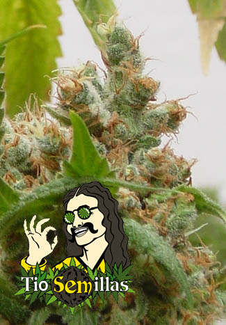 Bob Marley is the name of this plant, also called Bob or Marlies Collie it is the finest blend of Indica and Jamacian herbs that even Bob would have loved