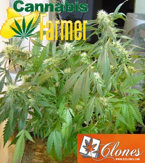 Pictured here is the Cannabis Farmer picture of EZClones Valencia Rose Number 1 at 3 weeks flowers