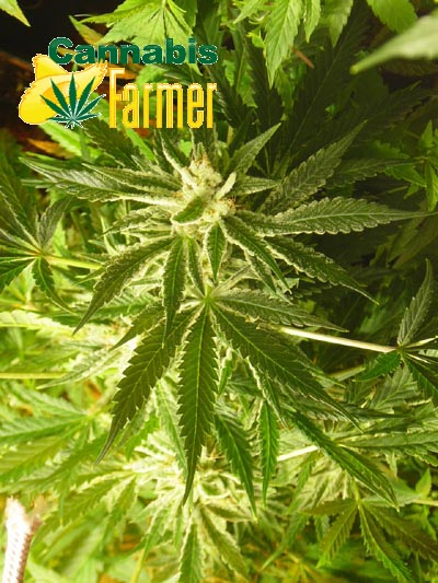Pictured here is the Cannabis Farmer picture of EZClones Valencia Rose Number 2 at 2 weeks flowers