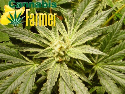 Pictured here is the Cannabis Farmer picture of EZClones Valencia Rose Number 2 at 5 weeks old