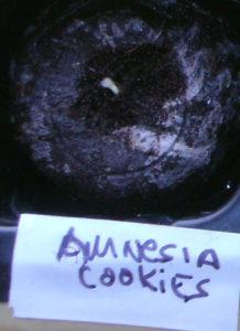 amnesia-cookies1