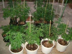 Cannabis Farmer Summer 2016 Varieties