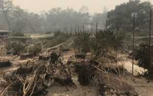 Cannabis Crops have burned to the ground and those still around are devastated by smoke.